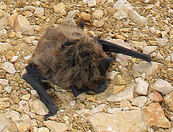Hypsugo savii Trtar cropped.jpg