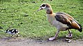 I'm late, I'm late, for a very important date........(Egyptian Goose, Bushy Park, Greater London). - panoramio.jpg