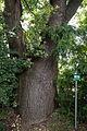 ID 719 Quercus 0002.jpg