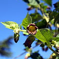 IMG 8122-Atropa belladonna.jpg