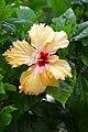 IMG 8256 Hibiscus Photographed by Peak Hora.jpg
