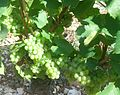 IMG Chardonnay 1.JPG