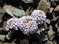 Iberis-spathulata-eyne-12-06-2006-a.jpg