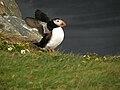 Iceland - Puffin - Dyrholaey - Road Trip - Chordata (4889976223).jpg
