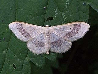 Riband wave Species of moth