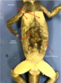 Iguana Ventral Muscles Labeled.png