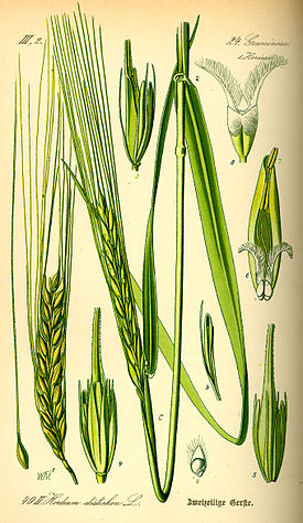 Illustration Hordeum distichon0.jpg