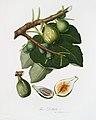 Illustration from Pomona Italiana Giorgio Gallesio by rawpixel00014.jpg