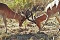 Impala Fighting (23981143519).jpg