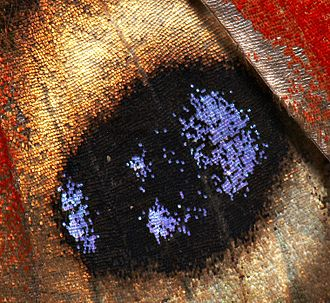 Butterfly - The wings of butterflies, here Inachis io, are covered with coloured scales
