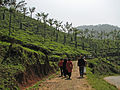 India - Kerala - 065 - tea estate (2077708309).jpg