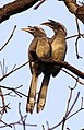 Indian Grey Hornbill Ocyceros birostris Courtship by Dr. Raju Kasambe (1).jpg