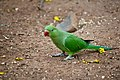 Indian Parrot.jpg