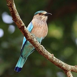 Indian roller Species of bird