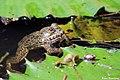 Indian skittering frog - Euphlyctis cyanophlyctis., ചാട്ടക്കാരൻ. (37783501432).jpg