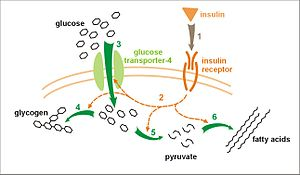 Insulin receptor - Image: Insulin glucose metabolism