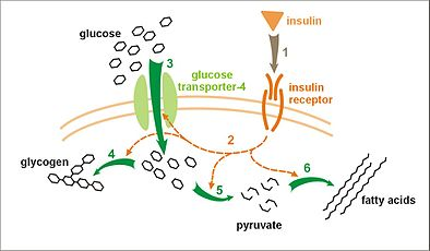 effect of insulin on glucose uptake and metabolism  insulin binds to its  receptor (1), which, in turn, starts many protein activation cascades (2)