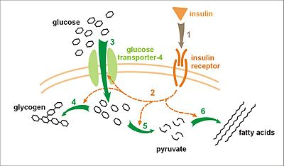 Effect of insulin on glucose uptake and metabolism. Insulin binds to its receptor (1) which in turn starts many protein activation cascades (2). These include: translocation of Glut-4 transporter to the plasma membrane and influx of glucose (3), glycogen synthesis (4), glycolysis (5) and fatty acid synthesis (6).