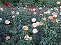 International Rose Test Garden in Portland, Ore. (2013) - 01.JPG