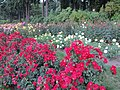 International Rose Test Garden in Portland, Ore. (2013) - 02.JPG