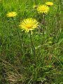 Inula ciliaris var. glandulosa 1.JPG