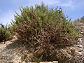 Inula crithmoides Ghajn Tuffieha Malta 01.jpg