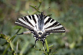 Iphiclides feisthamelii female.jpg