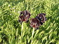 Iris atrofusca near Tel Arad.JPG
