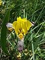 Iris variegata sl58.jpg
