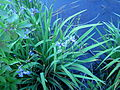 Iris versicolor, Whitefish Island.JPG