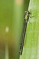 Ischnura elegans 5(loz).jpg