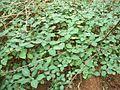 Isoglossa woodii seedlings.JPG