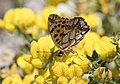 Issoria lathonia - Queen of Spain Fritillary, Sivas 2017-07-02 01-1.jpg