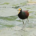 Jacana walking on water (14827774398).jpg