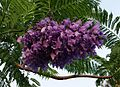 Jacaranda mimosifolia flowers (2).jpg