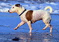 Jack Russell Terrier Eddi on the Beach.JPG