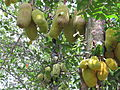 Jack fruit from Tuvvur, Kerala, India.JPG