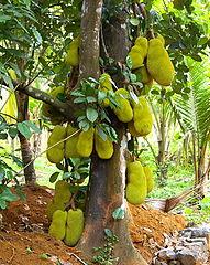 June 191px-Jackfruits