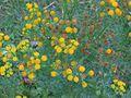 Jacobskruiskruid bloeiwijze Senecio jacobaea.jpg