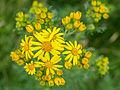 Jakobskruiskruid (Jacobaea vulgaris subsp. vulgaris, synoniem Senecio jacobaea).jpg