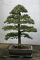 Japanese Hemlock (Tsuga diyersfolia) (3504779591).jpg