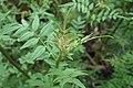 Jasminum humile kz04.jpg