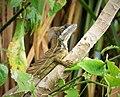 Jesus Christ Lizard .Brown Basilisk (Basiliscus vittatus) (3) (28943201158).jpg