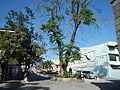 Jf9156Pterocarpus indicus Floridablanca Pampangafvf 09.JPG