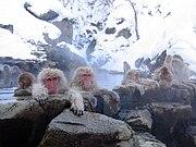Japanese Macaques bathe together in Jigokudani Hot Spring