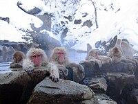 Macaques japonaisse baignant dans les sources chaudes de Jigokudani, Préfecture de Nagano, Japon.