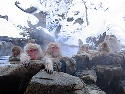 "Macaques enjoying an open air hot spring or ""onsen"" in Nagano"