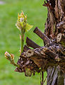 Jonge twijg aan gesnoeide druivenrank Vitis vinifera 'Boskoop Glory'. Locatie, Tuinreservaat Jonkervallei 02.jpg