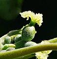 Juglans regia fl femelle Auvers 1.jpg
