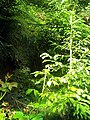 June Grüne Hölle Bergwälder Glottertal - Mythos Black Forest Photography 2013 green mountain forest young wood - panoramio.jpg